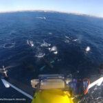 Científicos monitorean la salud de las ballenas mediante drones